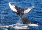 NECWA humpback